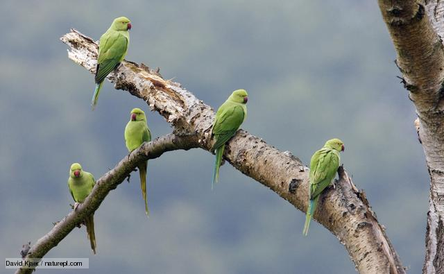 The Ring-necked Parakeet, a native of South America, has established a breeding population in London after a number of individuals escaped.